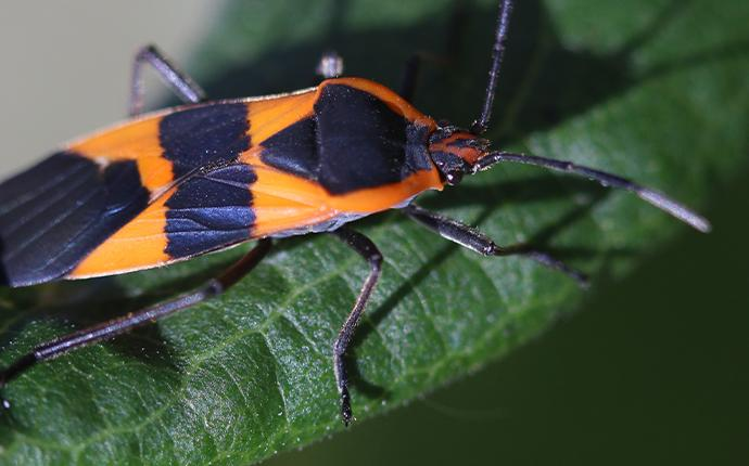 boxelder bug on leaf