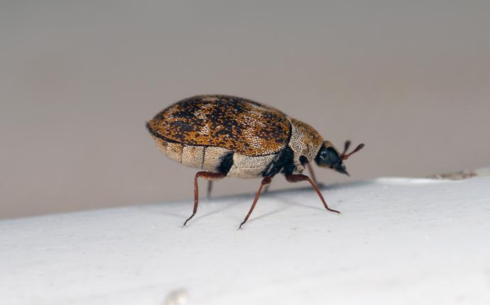 close up of a carpet beetle