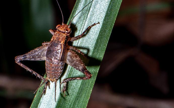 cricket on a grass blade