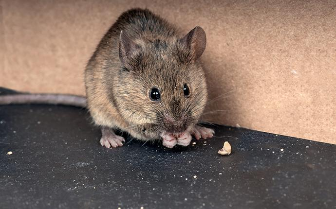 a mouse eating crumbs on the floor