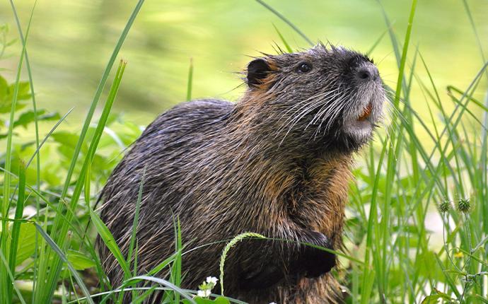 a muskrat in the grass