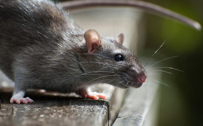 a rat resting on a wood plank