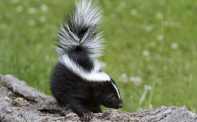 a skunk on a log