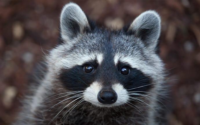 raccoon in a scotch plains yard