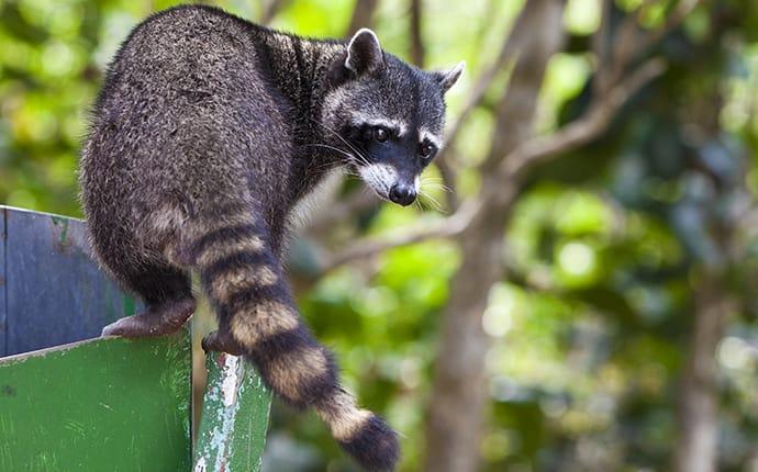 a raccoon getting into trash in south amboy