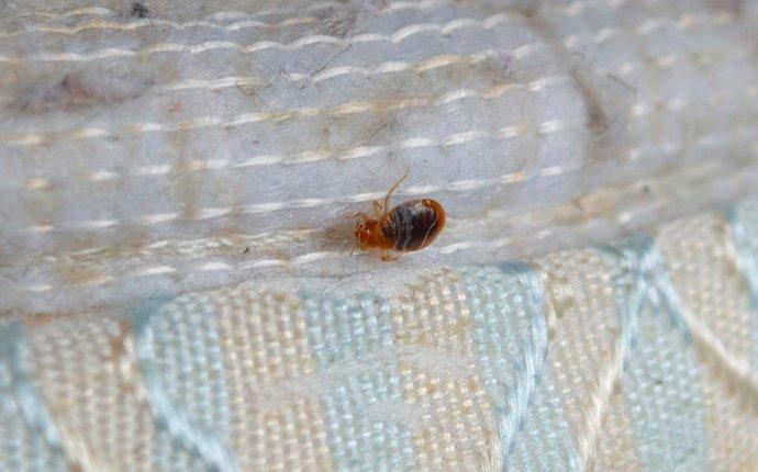 bed bug crawling on a mattress