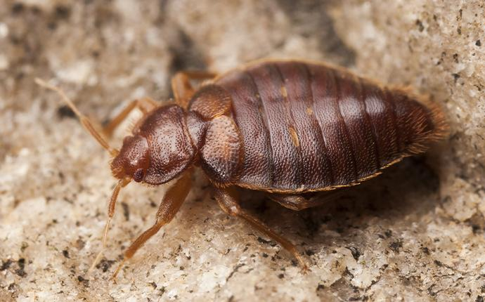 close up of bed bug on dirt