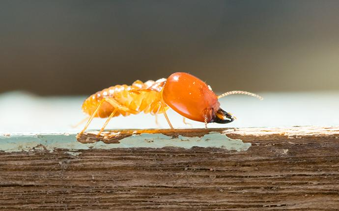 close up of termite on wood
