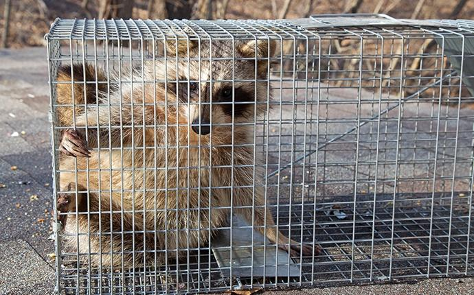 a raccoon in a trap