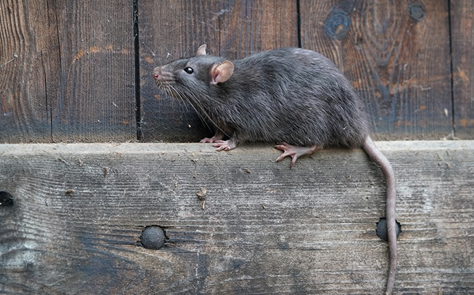 a rat on a fence