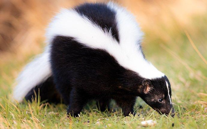 a skunk crawling in a yard in somerset county