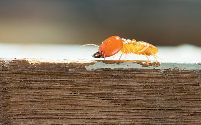 termite crawling on a board in hackettstown