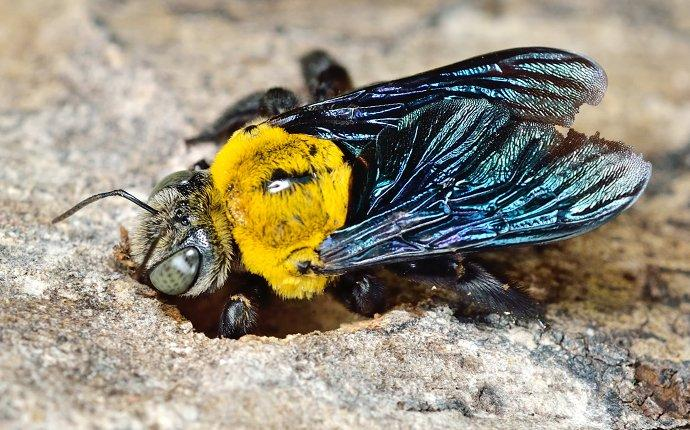 carpenter bee damaging a fence in toms river
