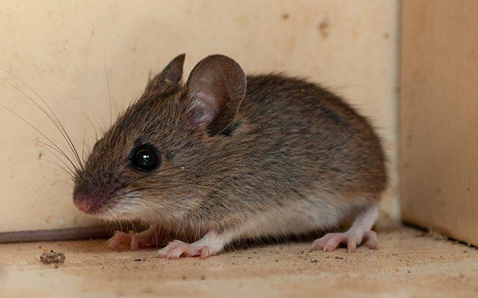 a house mouse crawling in a cupboard in union township