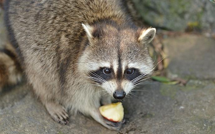a raccoon outside a house