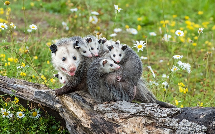 a group of opossums outside