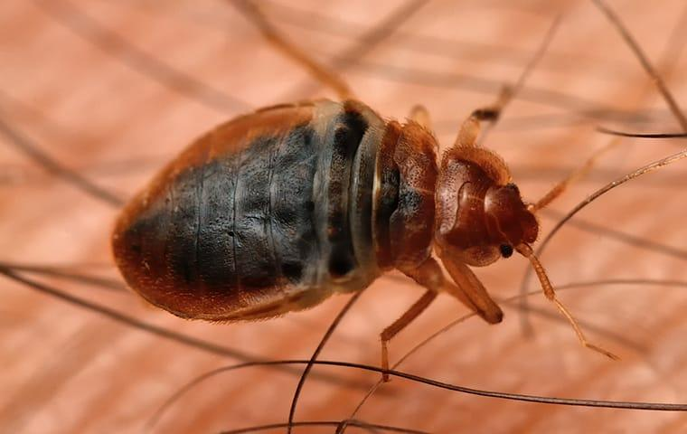 a bed bug biting the human skin of a wayne pennsylvania resident