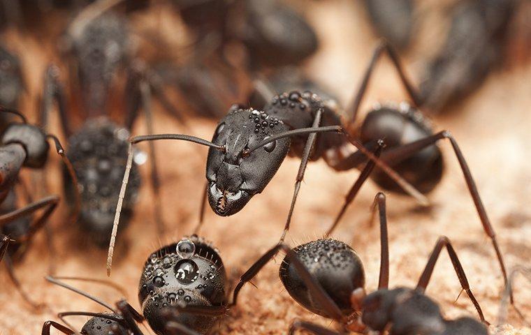 carpenter ants crawling on wood