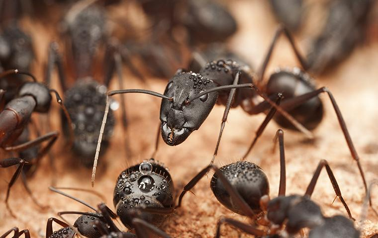 carpenter ants with water droplets on them