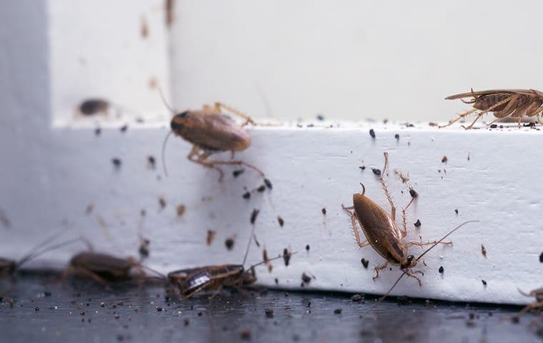 a massive oriential cockroach infestation in a wayne pennsylvania home