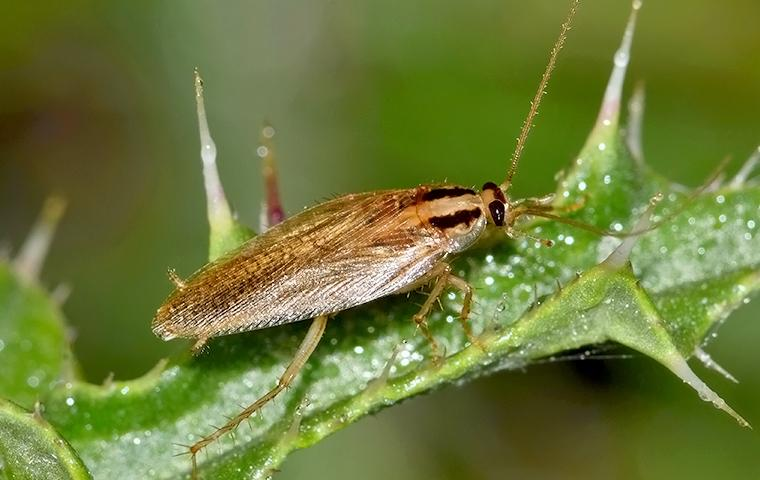 a small golden brown german cockroach crawlong along a vibrant green leaf in a malvern pennsilvania garden one sunny day
