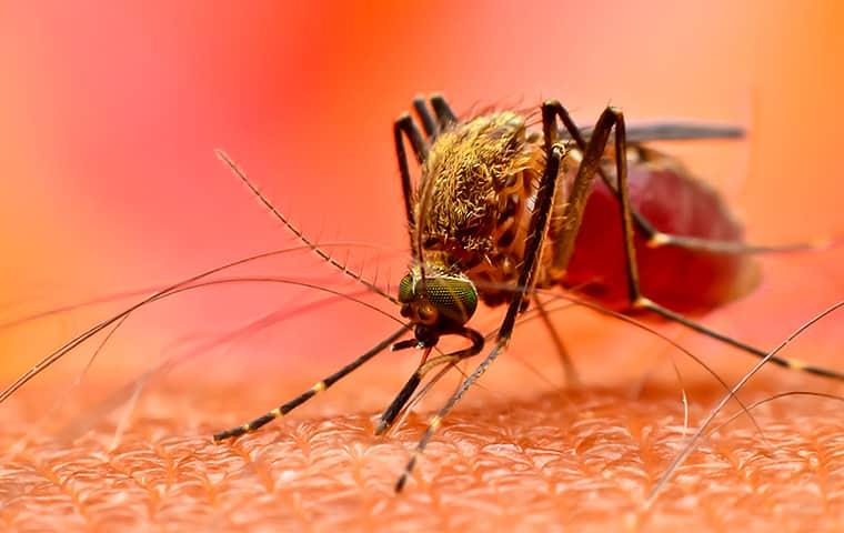 a mosquito biting the arm of a philadelphia pennsylvania resident