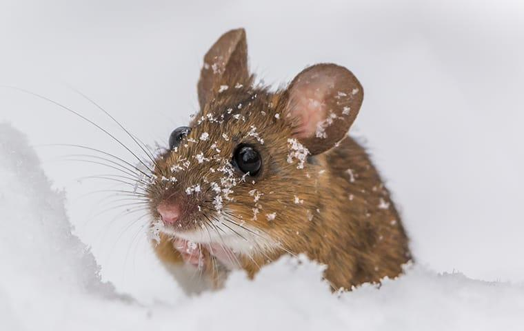 a house  mouse looking to gt out of the snow in wayne pennsylvania