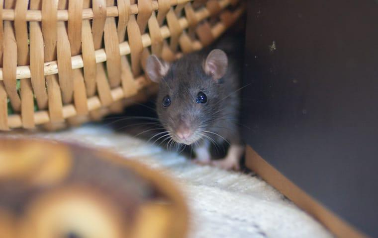 a small house mouse peaking his head between a wall and a basket in a wayne pennsylvania living room