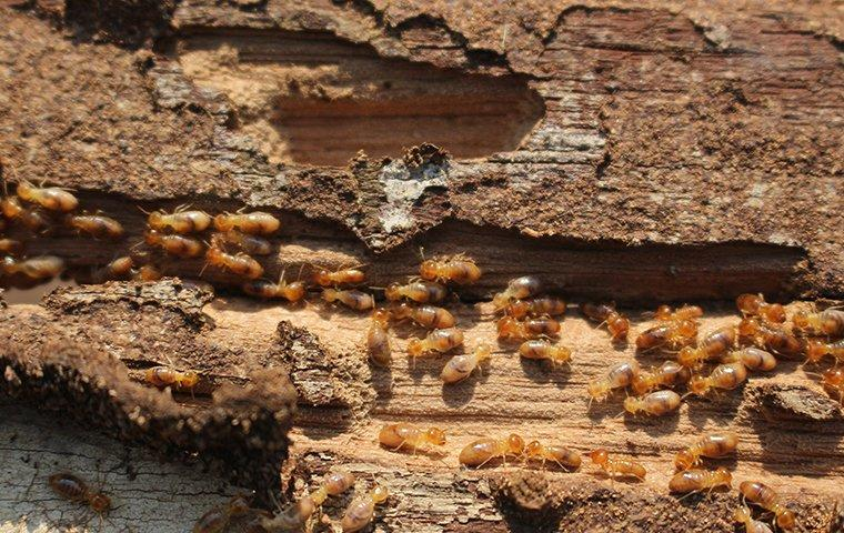 termites eating wood in a house