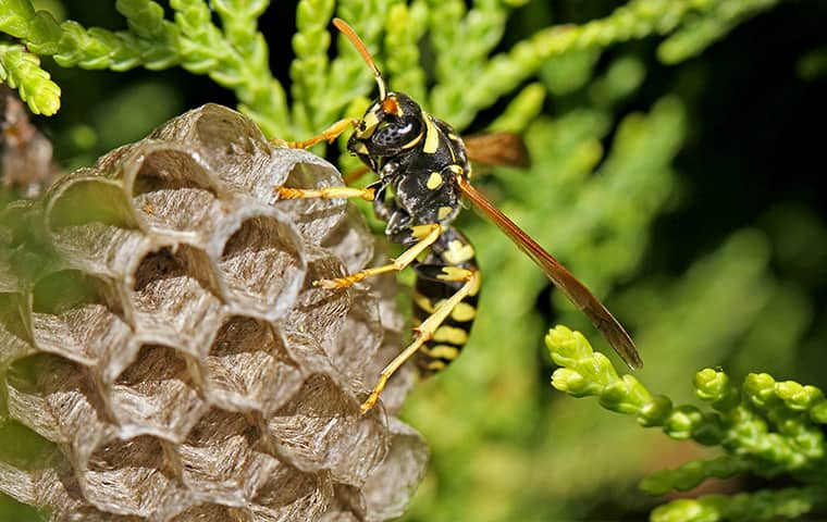 a paper wasp crawling on a nest outside in malvern pennsylvania