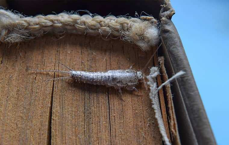 a silverfish crawling on a surface inside of a home in montgomery pennsylvania