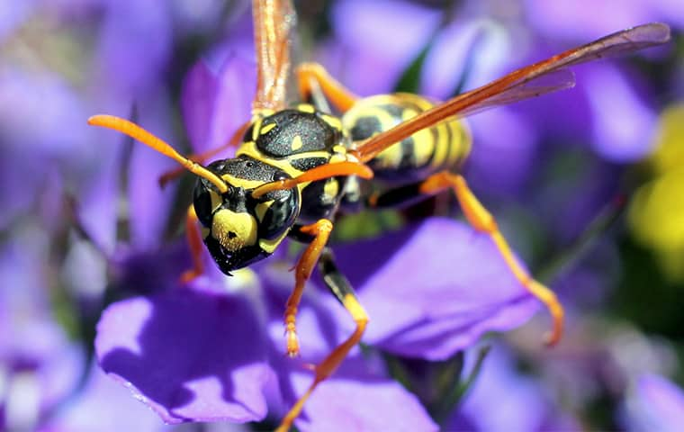 a paper wasp on a purple flower outside of a home in malvern pennsylvania
