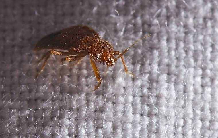 close up of bed bug on bed