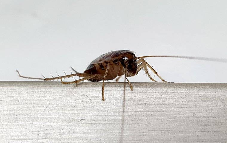 german cockroach in kitchen