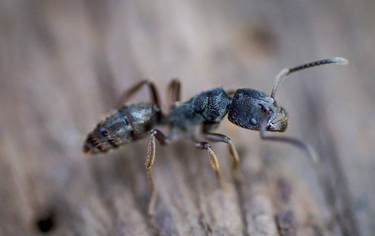 carpenter ant crawling on wood