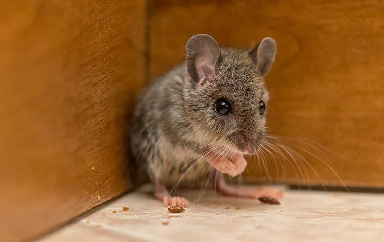 mouse in the corner of a kitchen cabinet