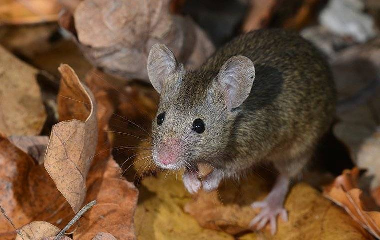 mouse in the leaves