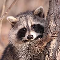 raccoon outside of an auburn maine home