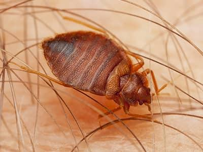 bed bug on a maine homeowner feeding