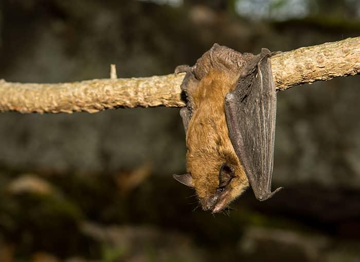 big brown bat hanging from tree limb monmouth maine