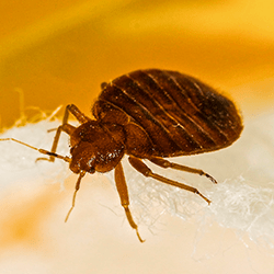 bed bug crawling on bed in augusta maine
