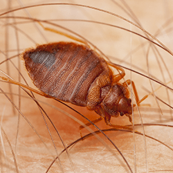 bed bug crawling on person in portland me