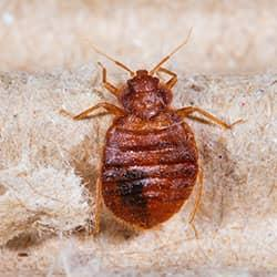 bed bug on a blanket