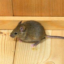 mouse on wood floor