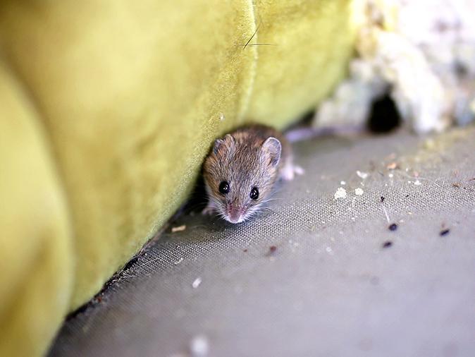 mouse inside a maine camp