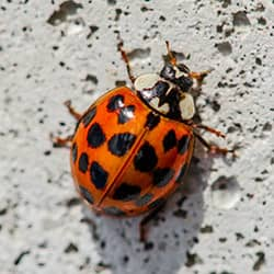 ladybug on house foundation