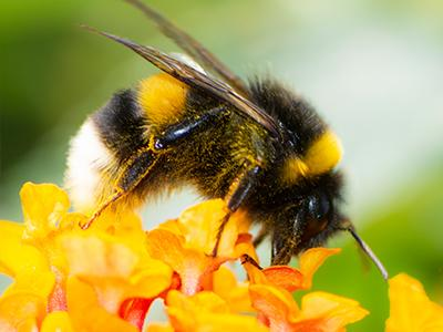 bumble bee pollinating a flower outside a maine home
