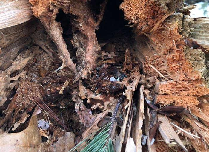 tree in auburn maine damaged by carpenter ants