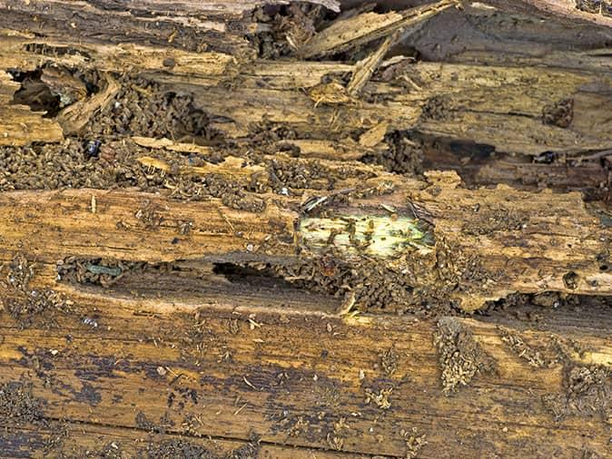 damage caused by a carpenter ant infestation inside a maine home