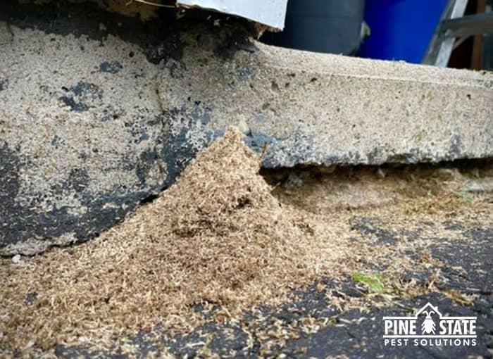 carpenter ant frass piling up near maine home